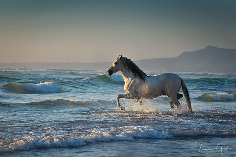 Andalusian Stallion in the Surf  print