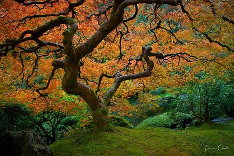 Autumn Japanese Maple Tree print