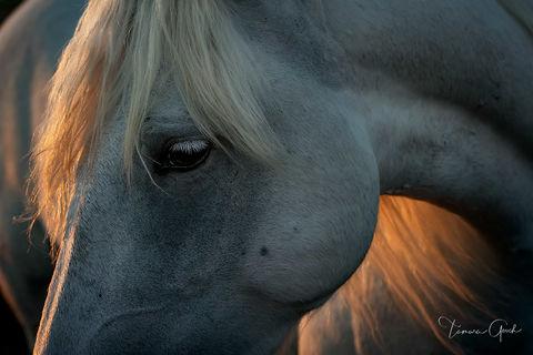 Humble and Kind Camargue Horse print