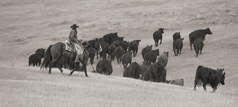 Cowboy Moving Cattle