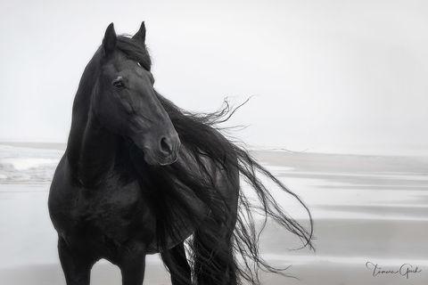 Sea Captain Friesian Horse print