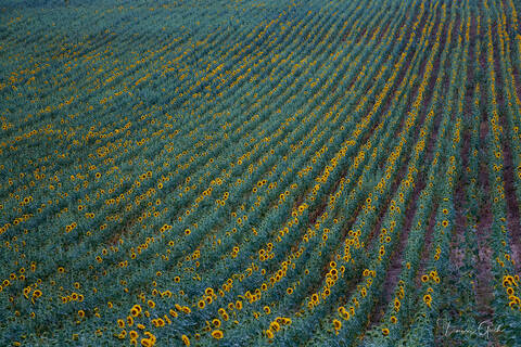 Sunflower Fields of France print