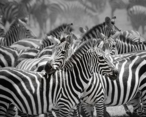 Zebra Dazzle print