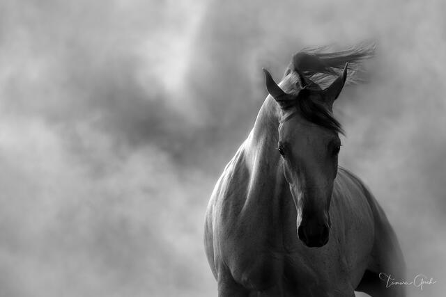 Arabian Horse In Dust