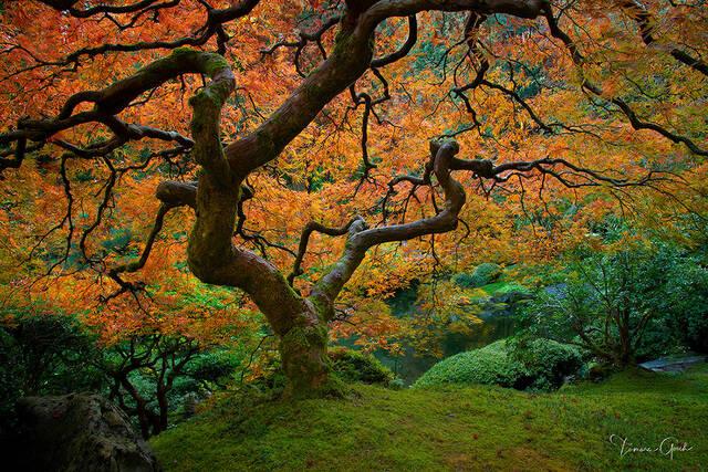 tree, trees, autumn, fall, garden, Japanese maple, moss, botanical, life Oregon, photography, picture, print, fine, art, the, tree,