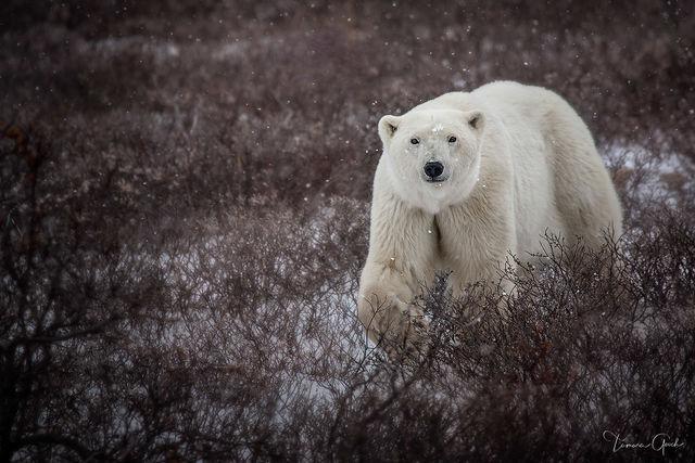 Autumn Polar Bear