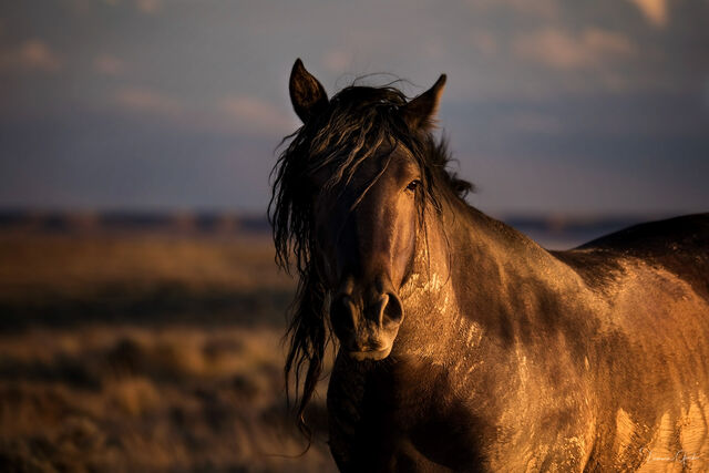 wild, horse, mustang, mare, black, mud, dirt, Wyoming, sunset, print, art, fine, home, decor, aluminum, metal, canvas, plexiglass, acrylic, non-glare, paper, museum quality, black, muddy,