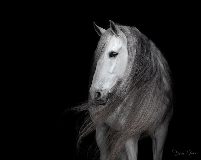 Black and white equestrian horse photo print for sale of a Warlander horse with a long flowing mane.