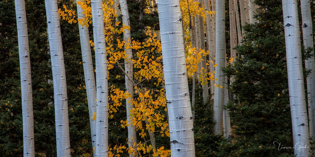 aspen, trunks, fall, autumn, pine, trees, forest, wood, nature, landscapce, collectiable, fine, art, limited, edition, panorama, luxury, image, photography