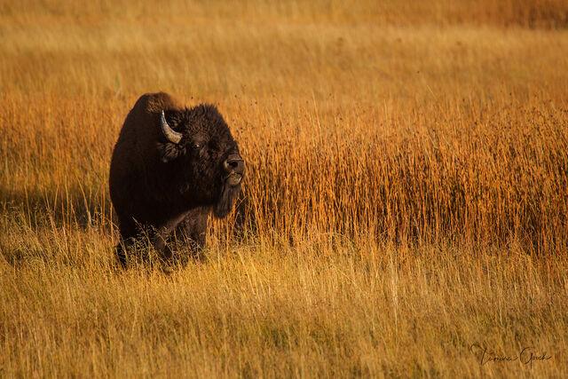 Fall Bull Bison