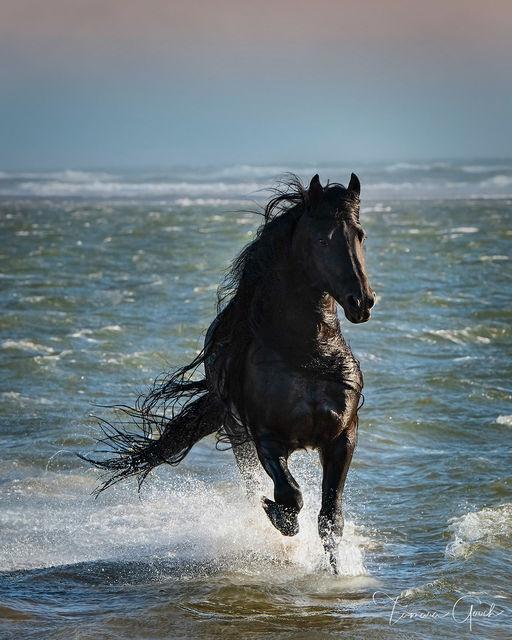 A fine art photo print of a Friesian horse running through the surf of the ocean.