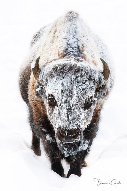 Frost Covered Bull Bison