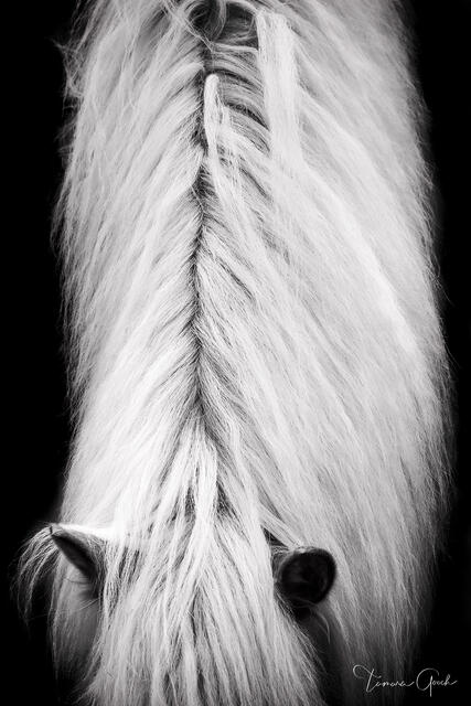 Black and white fine are equestrian horse print of a Haflinger horses mane, neck and ears. Great equine wall art and home decor. Gallery quality.