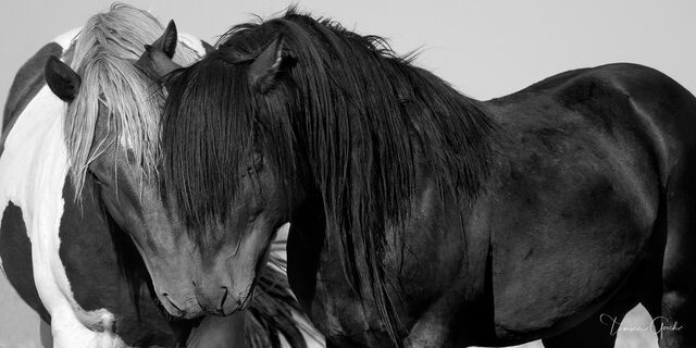 wild, mustang, mustangs, harmony, equestrian, stallions, portrait, collectible, black and white,