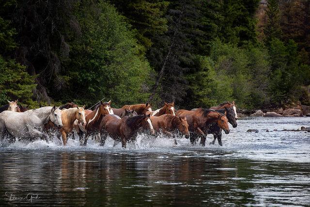 Horse Herd River Crossing