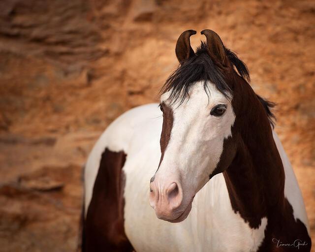 Pinto Marwari horse photo print