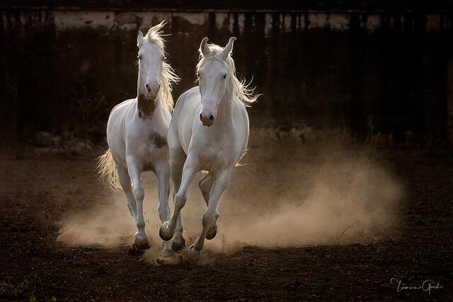 Museum qualify Fine art horse print of two Marwari horses running.