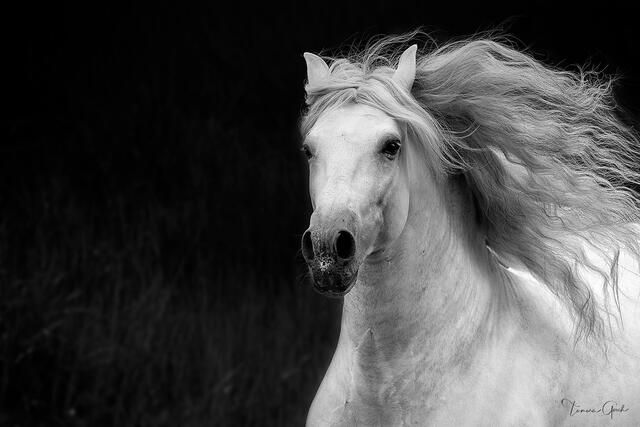 Black and white horse art of the pure Spanish horse. Exquisite equine and equestrian fine art prints, wall art for sale.