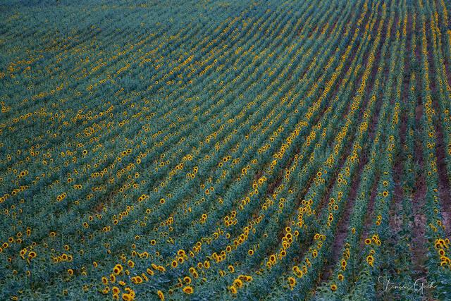 Sunflower fields of France fine art print, Sunflowers, sunflower, field, farm, rows, France, abstract, colorful, glowing, flowers, photograph, photos, fine, art, print, limited, edition, home, decor,