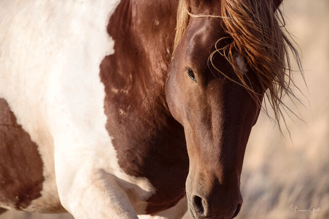 wild, mustang, horse, equine, paint, pinto, up, close, print, art, wall, home, decor