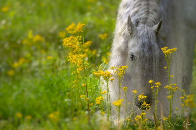 A fine art photograph of a beautiful white horse with a long mane in bright yellow spring wildflowers.