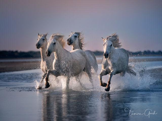 White Angel Horses
