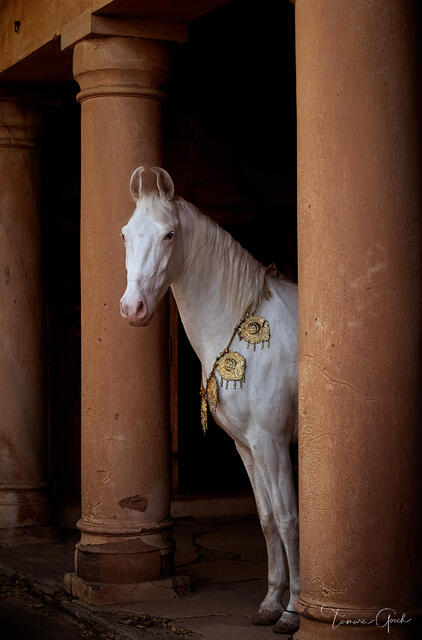 Gallery quality photo print of a Marwari Horse in ancient ruins