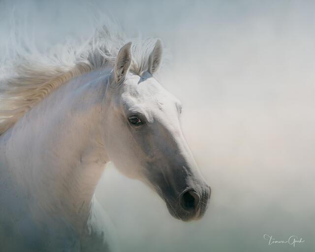 Lusitano Horse Portrait