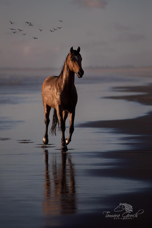 horse, horses, horse photos, photographer, Oregon, coast, coastal, beach, water, birds, gulls, sunset, sand, surf, buckskin, workshop, tours, reflection, equus, cheval, caballos, pferd, equine, equest