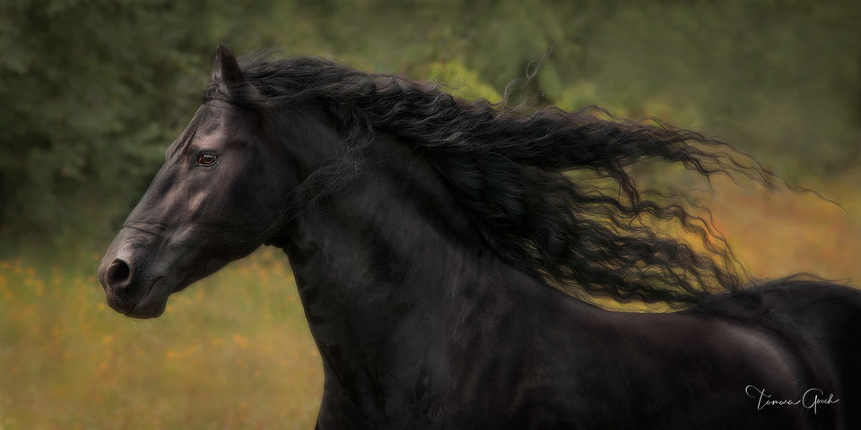 Friesian, stallion, mane, long, flowing, baroque, panorama, liberty, baroque horse,  friesian, friesian horse photos, horse, horse photography, equine, equus, cheval,