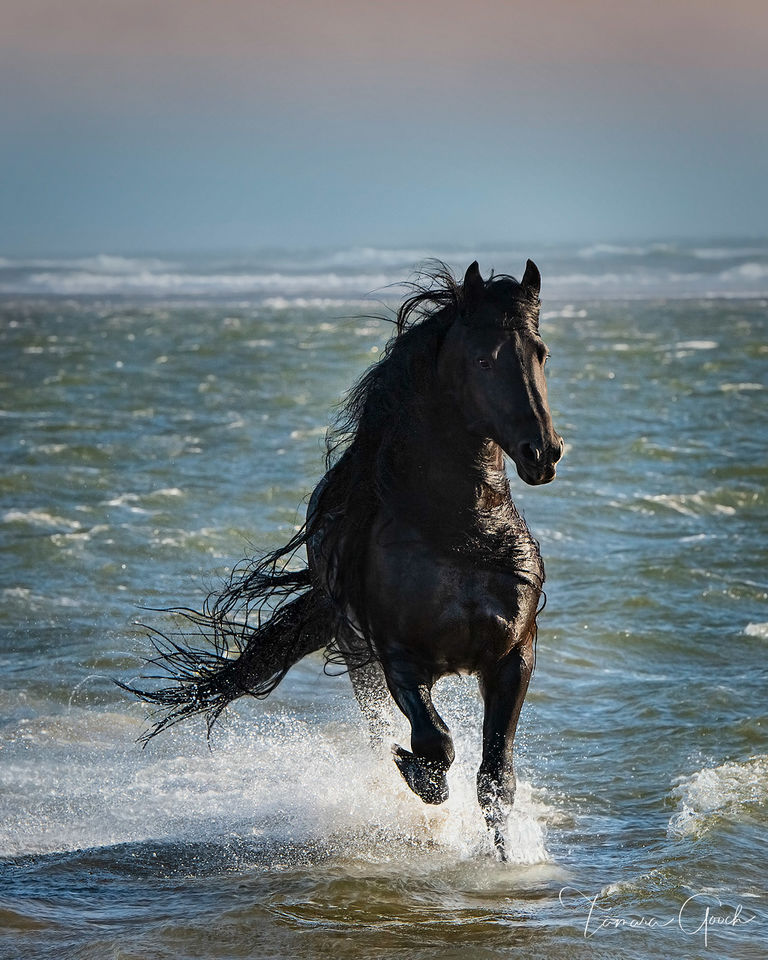 Friesian, horse, equine, stallion, water, waves, ocean, beach, surf, liberty, black, Splash, Zone, boutique, luxury, print, fine art, limited edition, for sale, purchase, best, beautiful,