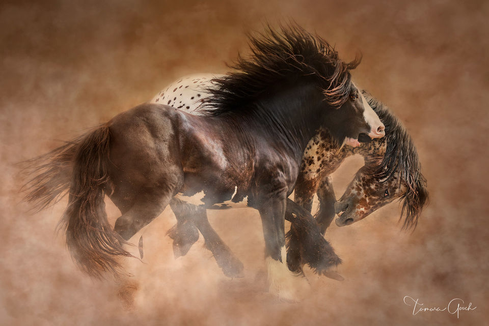 gypsy, gypsy's, gypsy vanner, gypspy cob, gypsy horses, playing, fighting, dust, pinto, appy, color, colored, at liberty, horse, horses, horse photos, horse photographer, horse photography, photograph