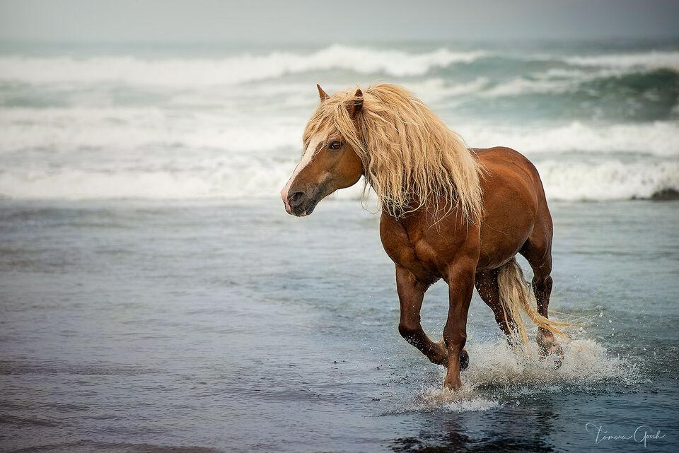 Haflinger, horse, equine, beach, ocean, surf, waves, seashore, coastal, water, beautiful, peaceful,