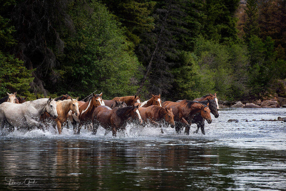 horse, herd, Wyoming, art, interior design, limited edition prints, herd, river, crossing, forest, ranch, water, luxury, horse prints, equestrian, horse photos,