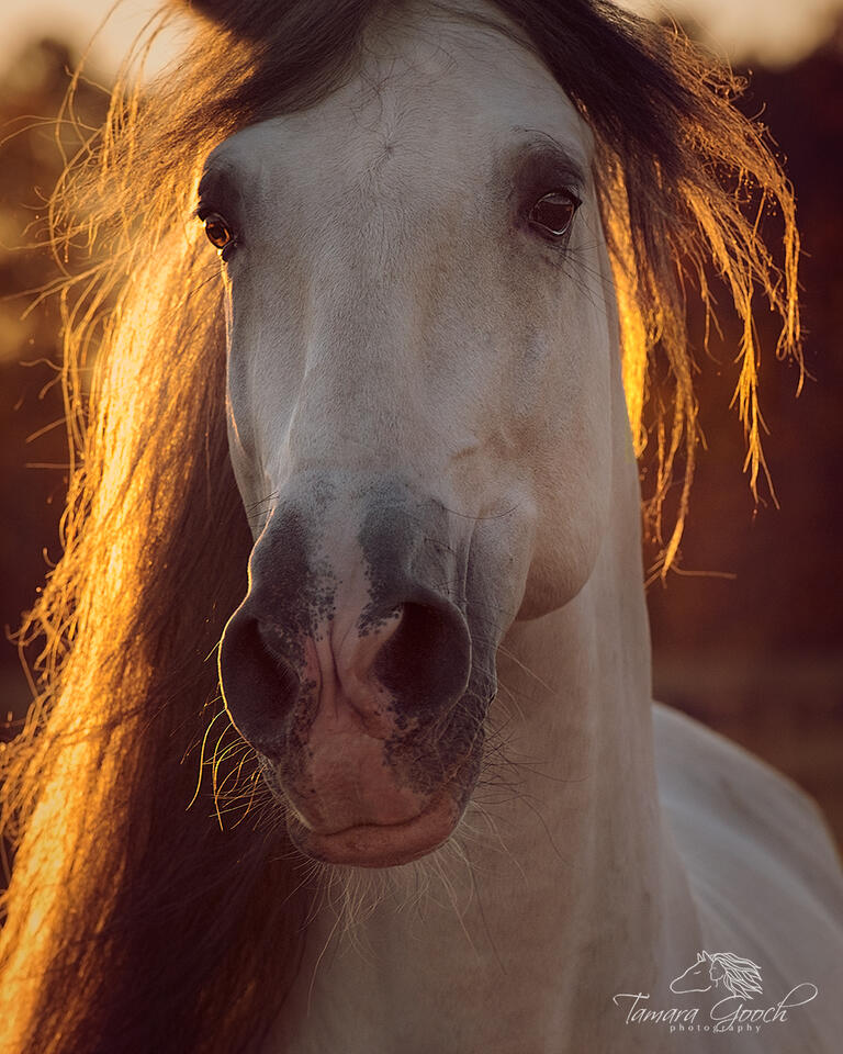 back light, sunset, horse portraits, glowing, PRE, Andalusian, stallion, grey, gray, baroque, horses, horse photography, photographer, equine, equestrian, lifestyle, style, art, fine art, limited edit