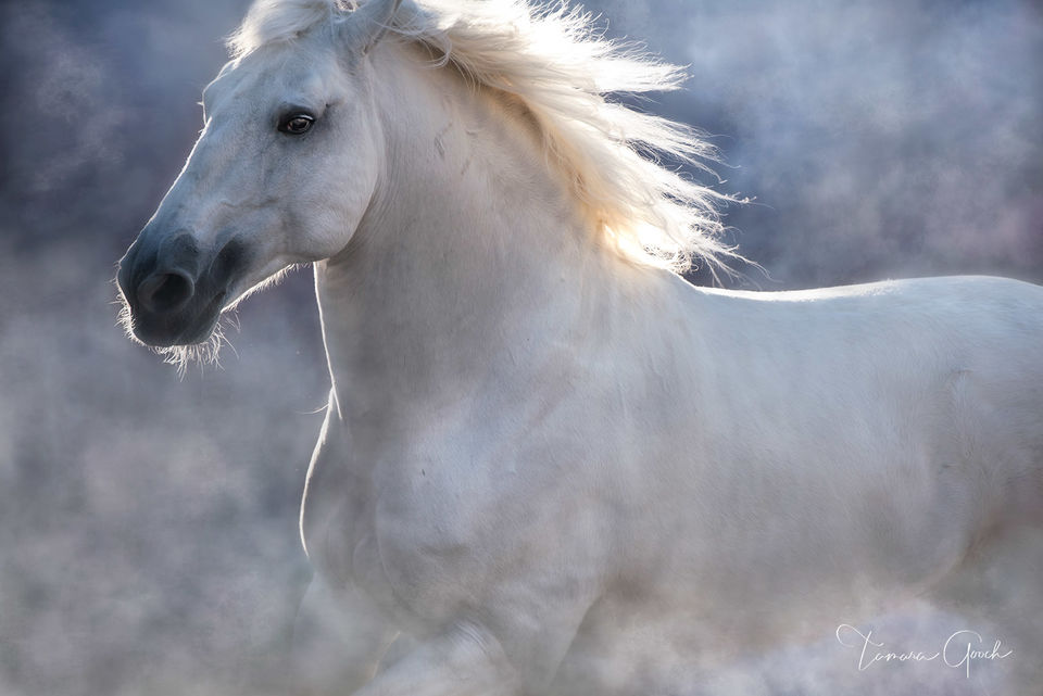 Lusitano, Portugal, PSL, Iberian, white, stallion, horse, equine, equus, cheval, caballos, liberty, fine, art, limited, edition, print, home, decor, interior, design, staging, equestrian, style, lifes