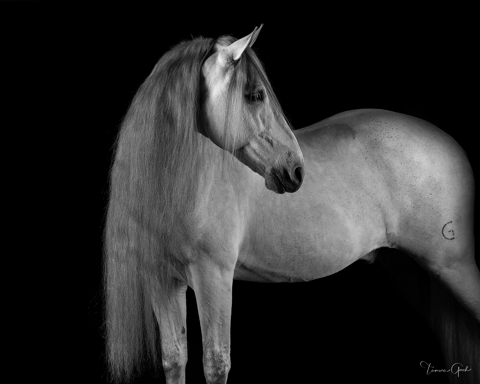 A photograph of a Andalusian horse with a very long mane done in black and white.