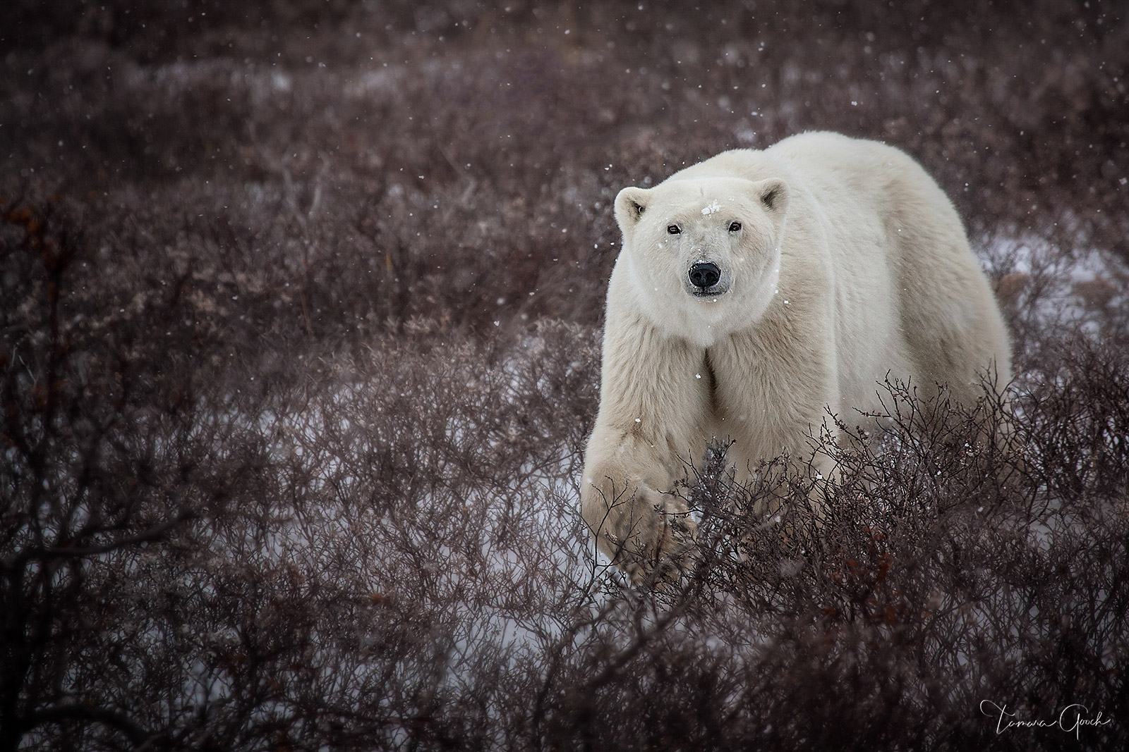 Autumn Polar Bear is a limited edition print of 50 Churchill, Manitoba is one of the best places in the world to see majestic...