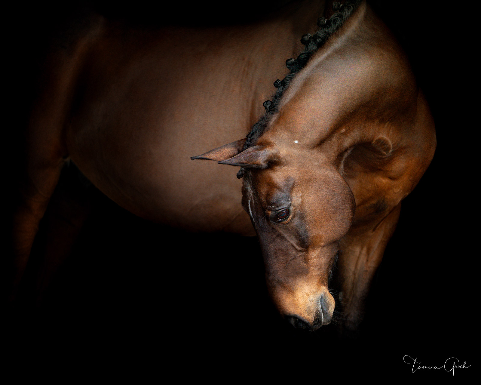 Luxury fine art limited edition horse photo print of a Lusitano show horse braided.