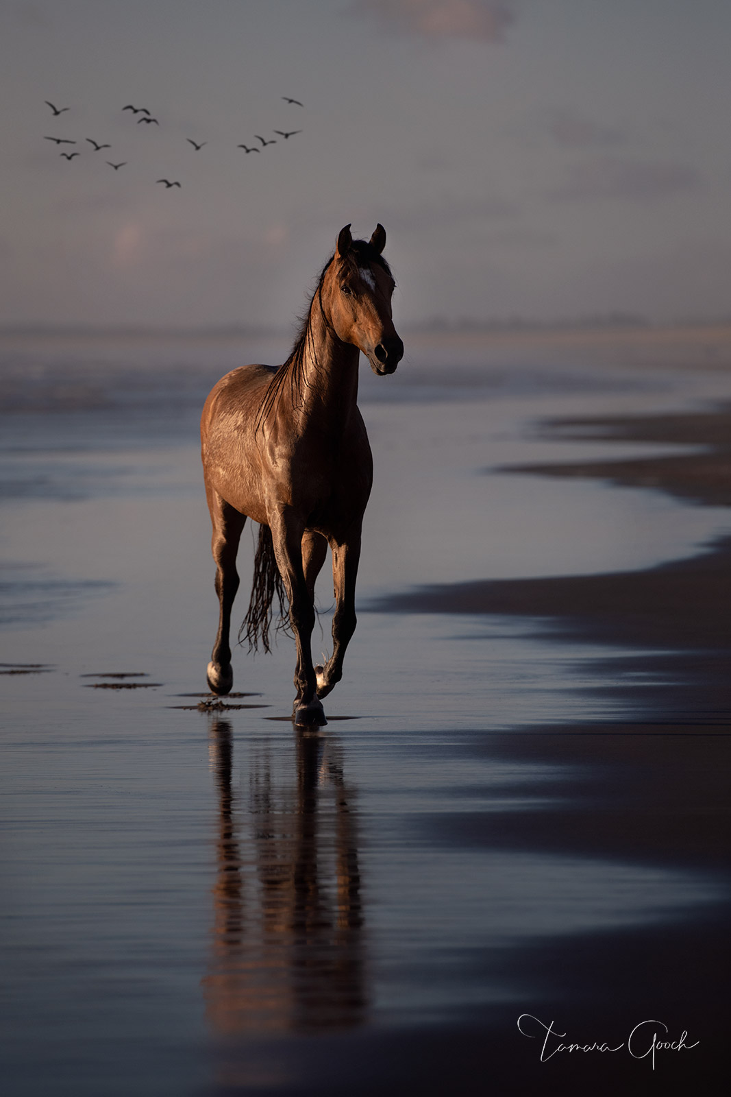 horse, horses, horse photos, photographer, Oregon, coast, coastal, beach, water, birds, gulls, sunset, sand, surf, buckskin, workshop, tours, reflection, equus, cheval, caballos, pferd, equine, equest, photo