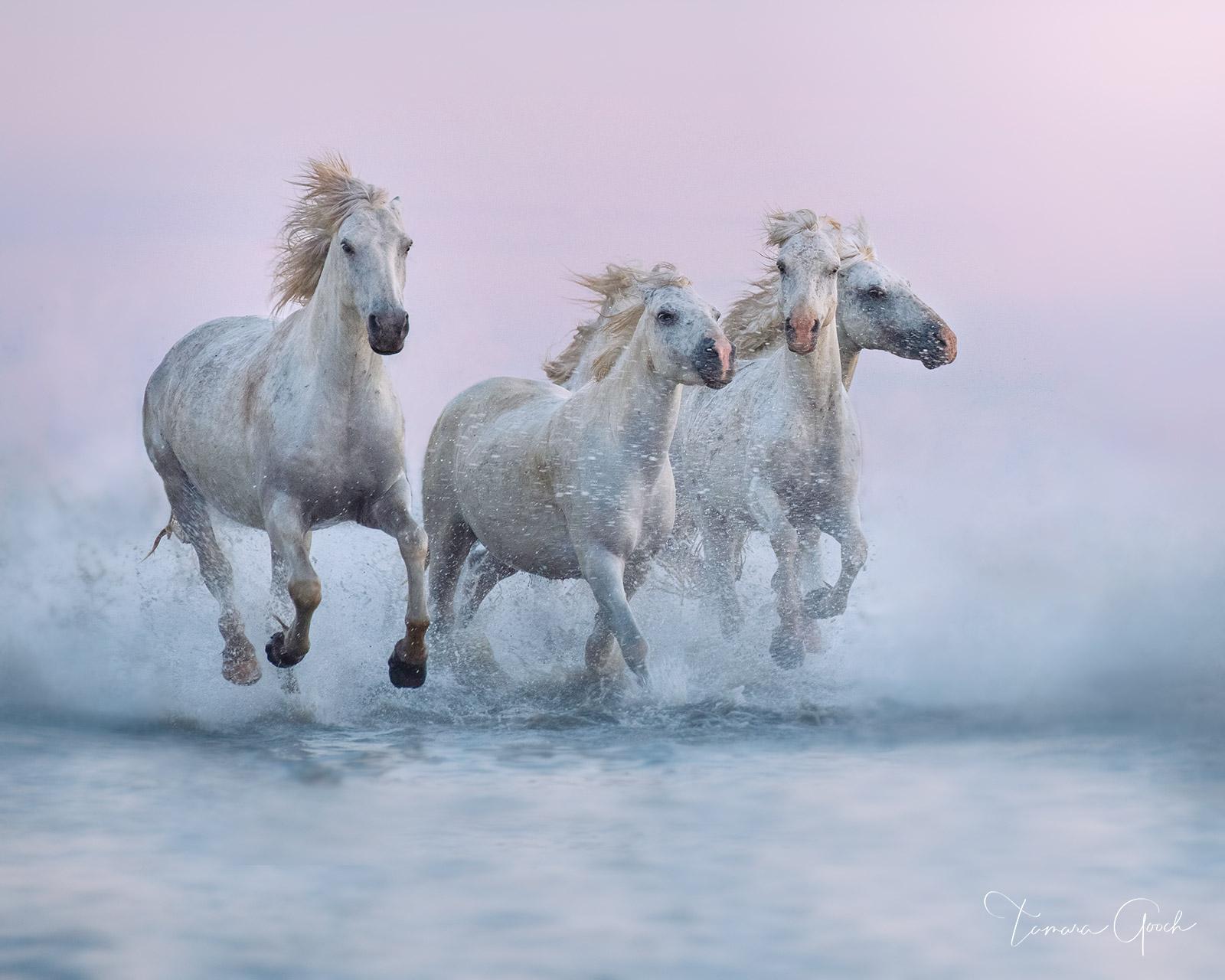 Camargue, France, marsh, water, sea, ocean, water, splashing, white horses, Provence, horse, horses, horse photos, horse photographer, horse photography, photographer, Idaho, equine, equine photograph, photo