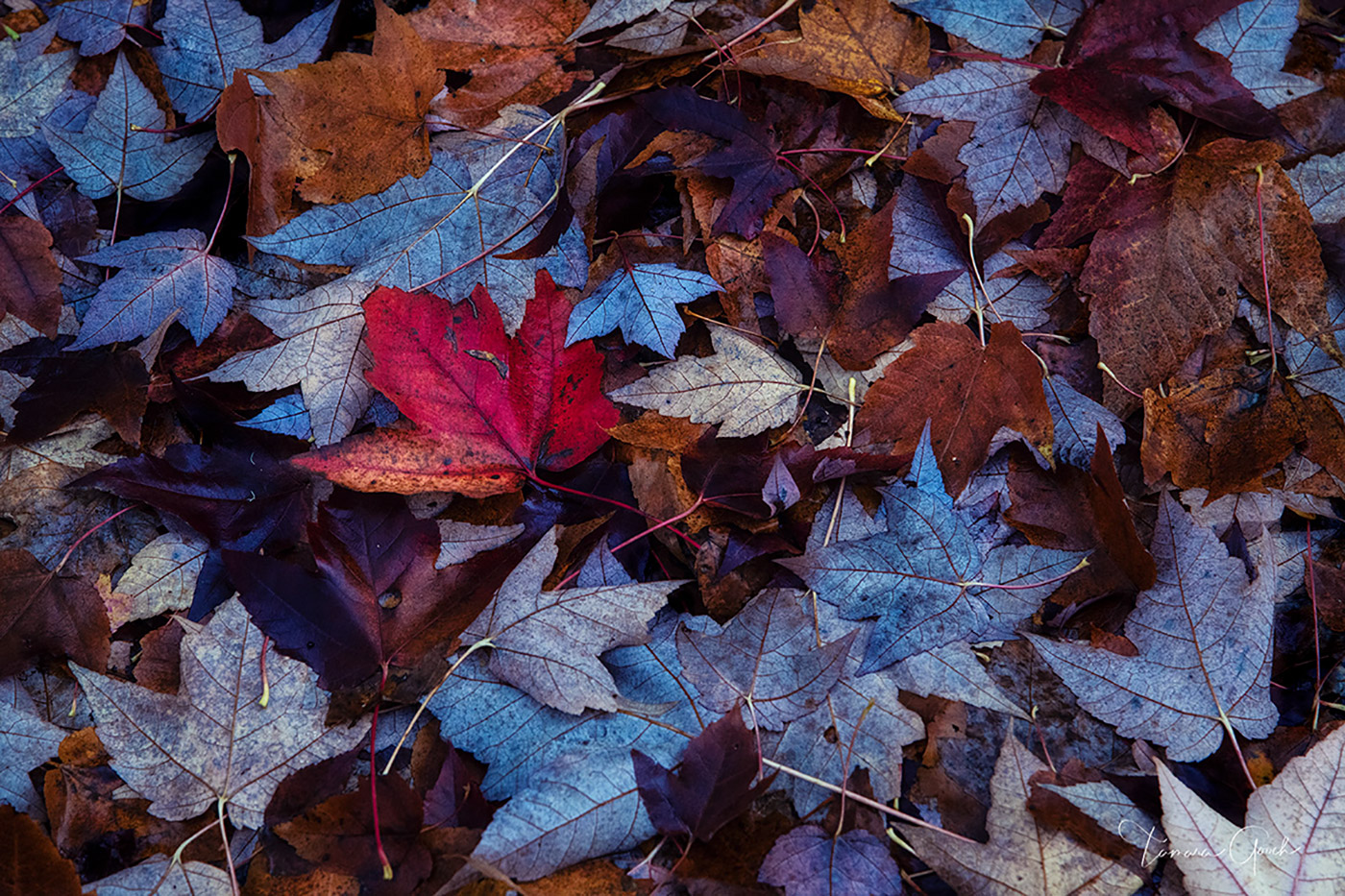 fall, autumn, leaves, leaf, red, orange, yellow, purple, fallen, photography, print, fine, art, limited, edition, wall, interior, design, home, decor, ground, photo