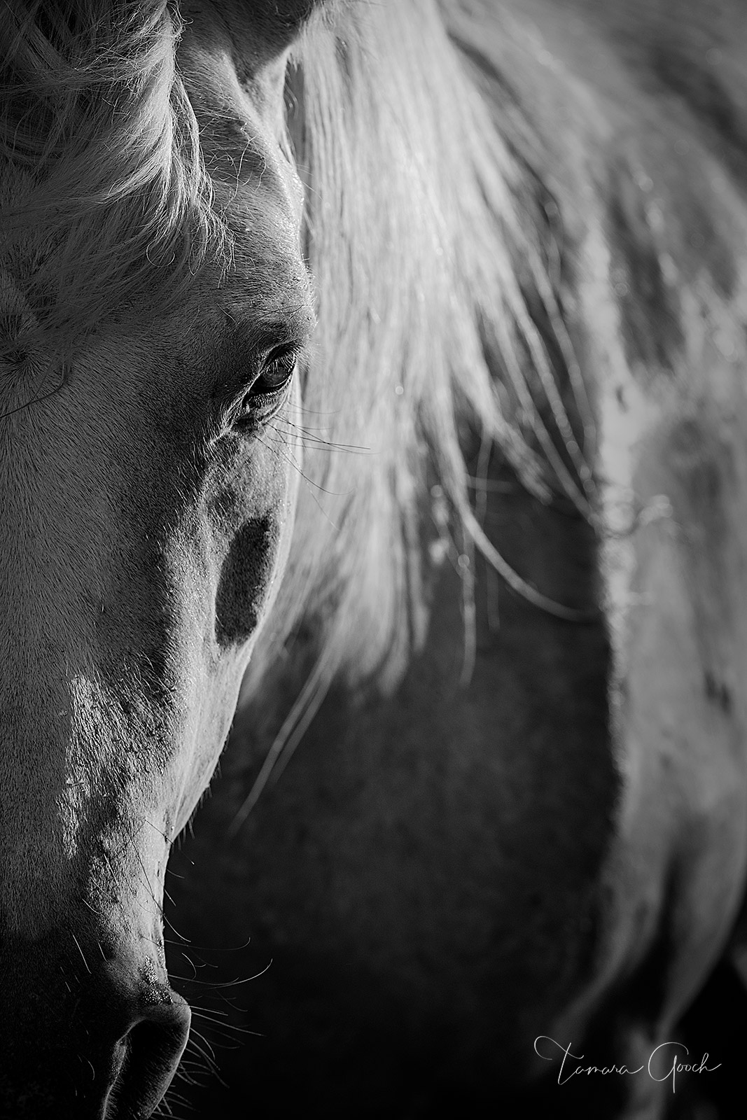 Luxury Fine Art black and white photograph of a Camargue horse bathed in the last light of day.