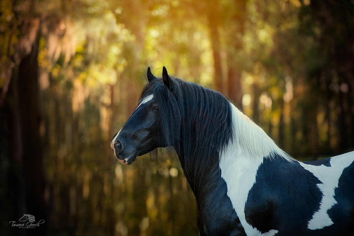 Limited Edition Print of 50 Gypsy King Horse is an award-winning fine art photograph now available as a fine art print to art...
