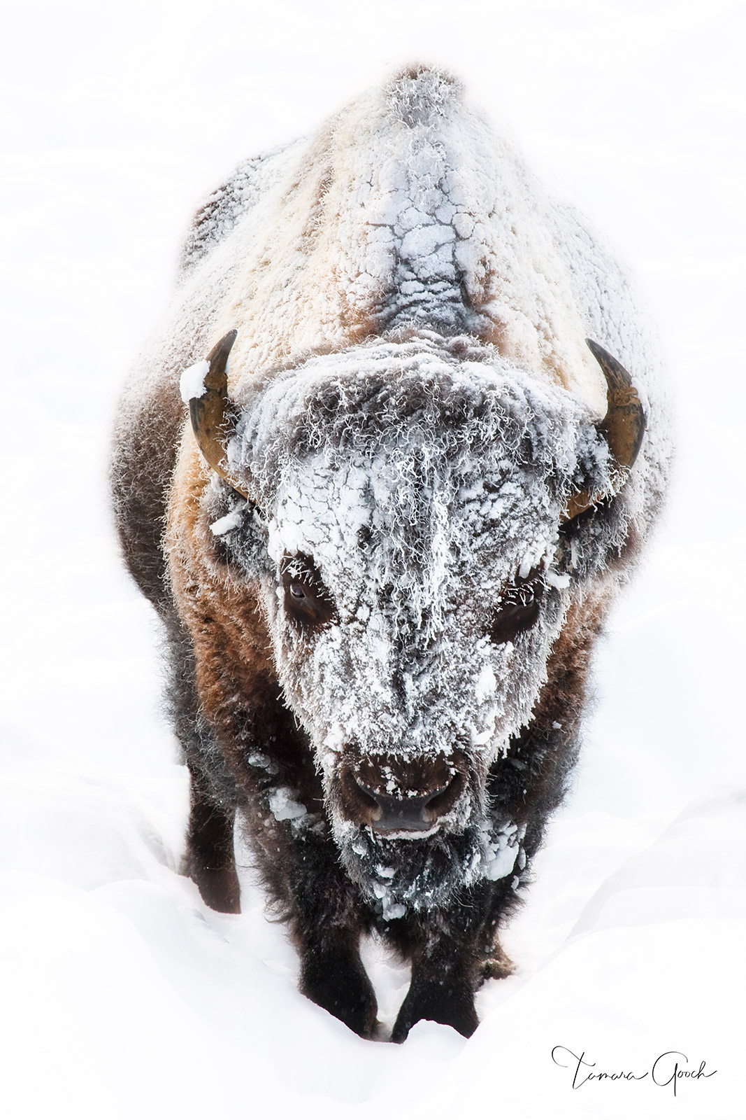 Limited Edition Print of 50 A frost covered bull bison in Yellowstone National Park. Below this museum quality fine art print...