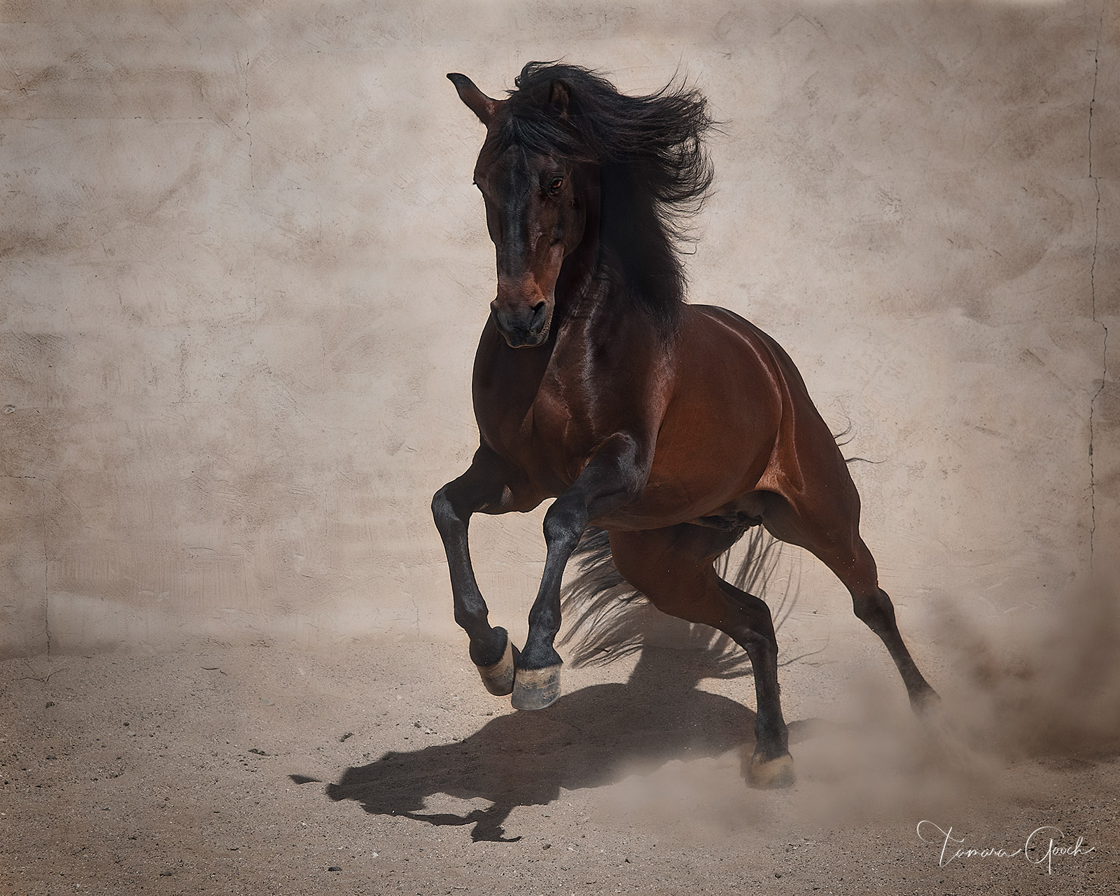 Museum quality limited edition photo horse print of an Andalusian horse at liberty.