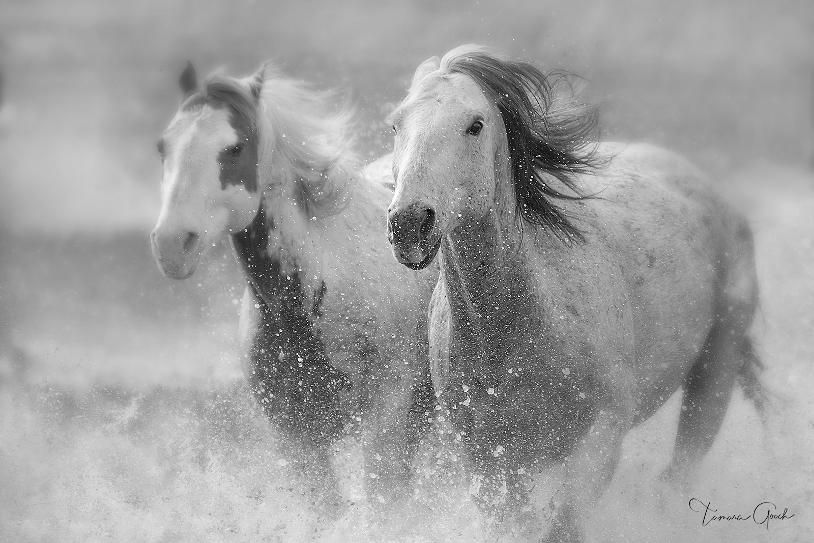 black and white photography, black and white horse photos, ranch horses, quarter horses, water, horses running through water...