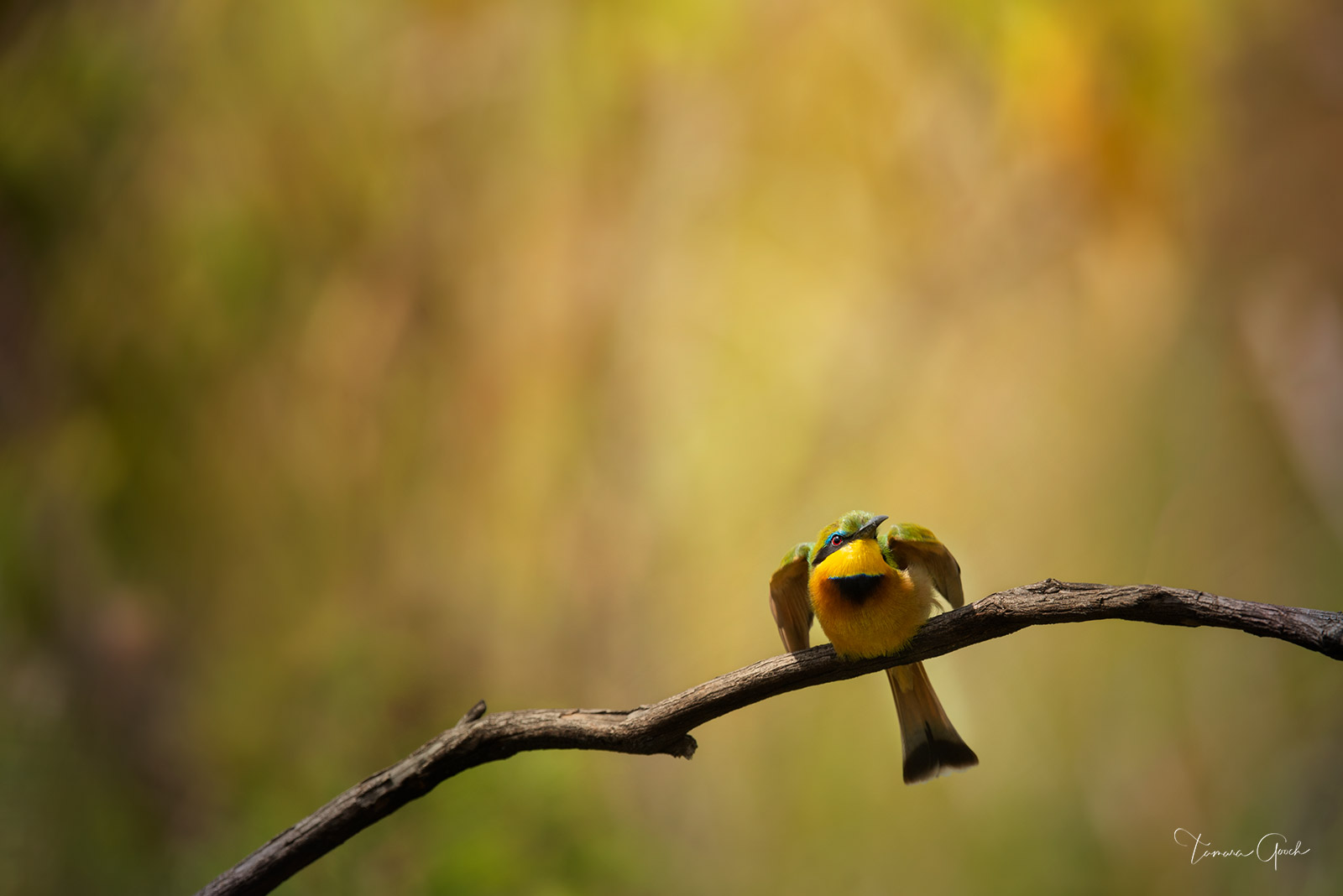 """Limited edition of 50 """"Uncaged"""" is a fine art photograph of a Little Bee Eater bird photographed while on safari in Tanzania...."""