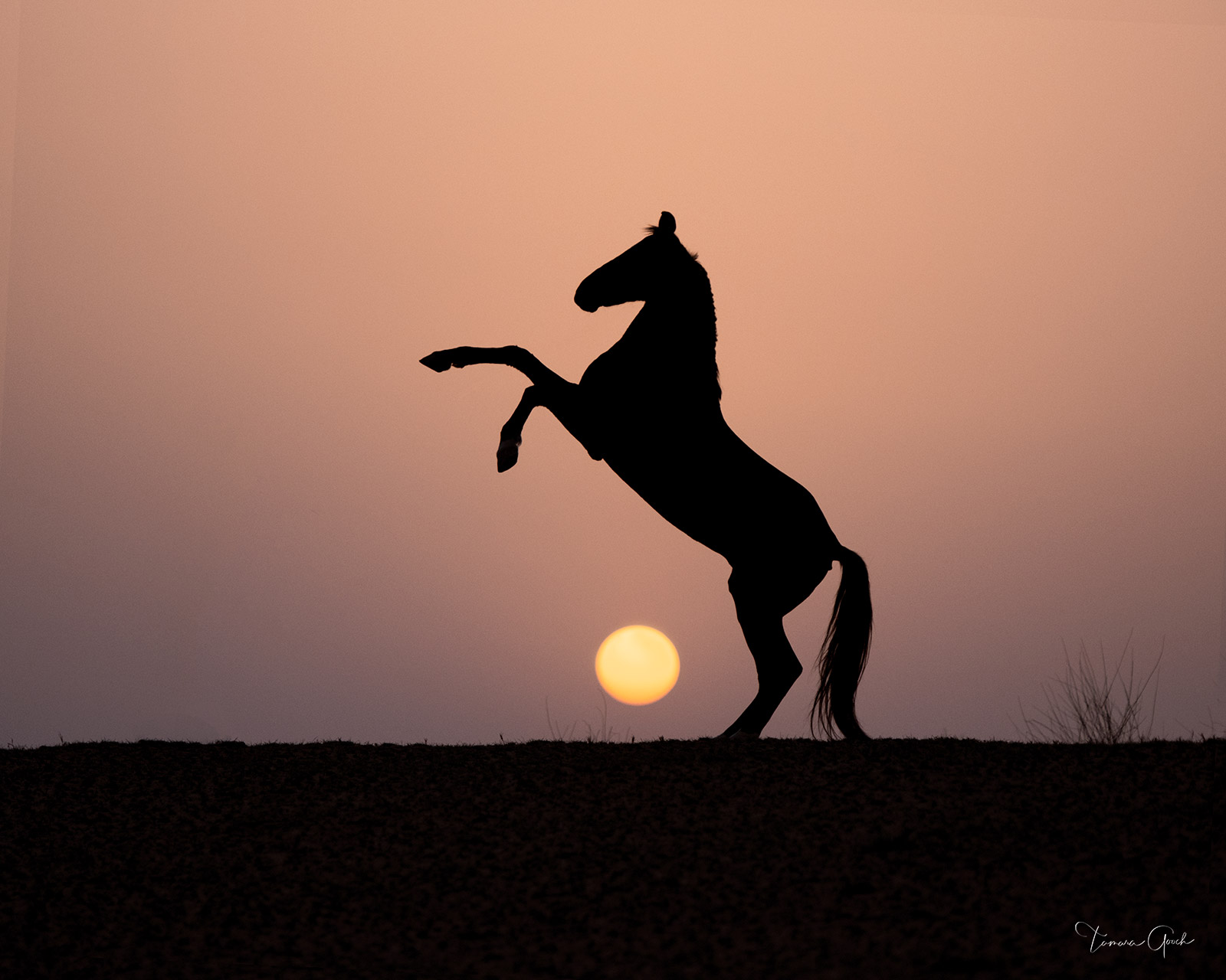Limited edition equestrian wall art photo print for sale of a Marwari horse rearing at sunrise.