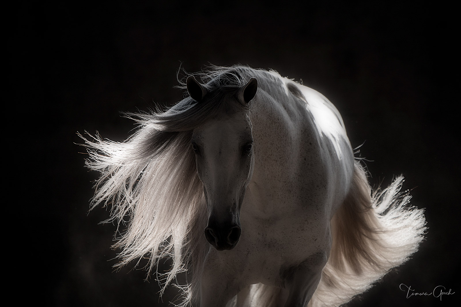 horse, horse photos, Andalusian, PRE, Spanish, Pure Spanish Horse, grey, gray, photography, horse photography, black and white, mane, tail, light, back light, equine, equestrian, lifestyle, prints, , photo
